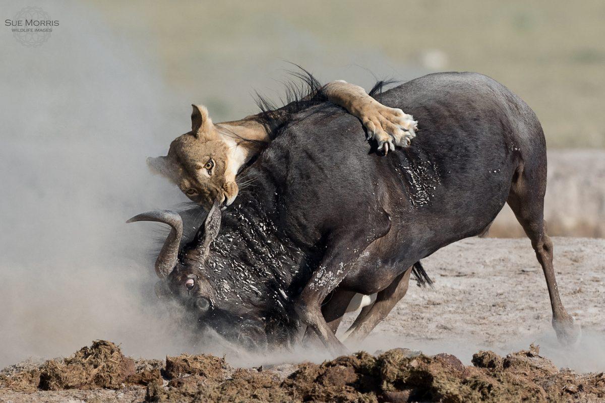 Lioness Taking Down Wilderbeest