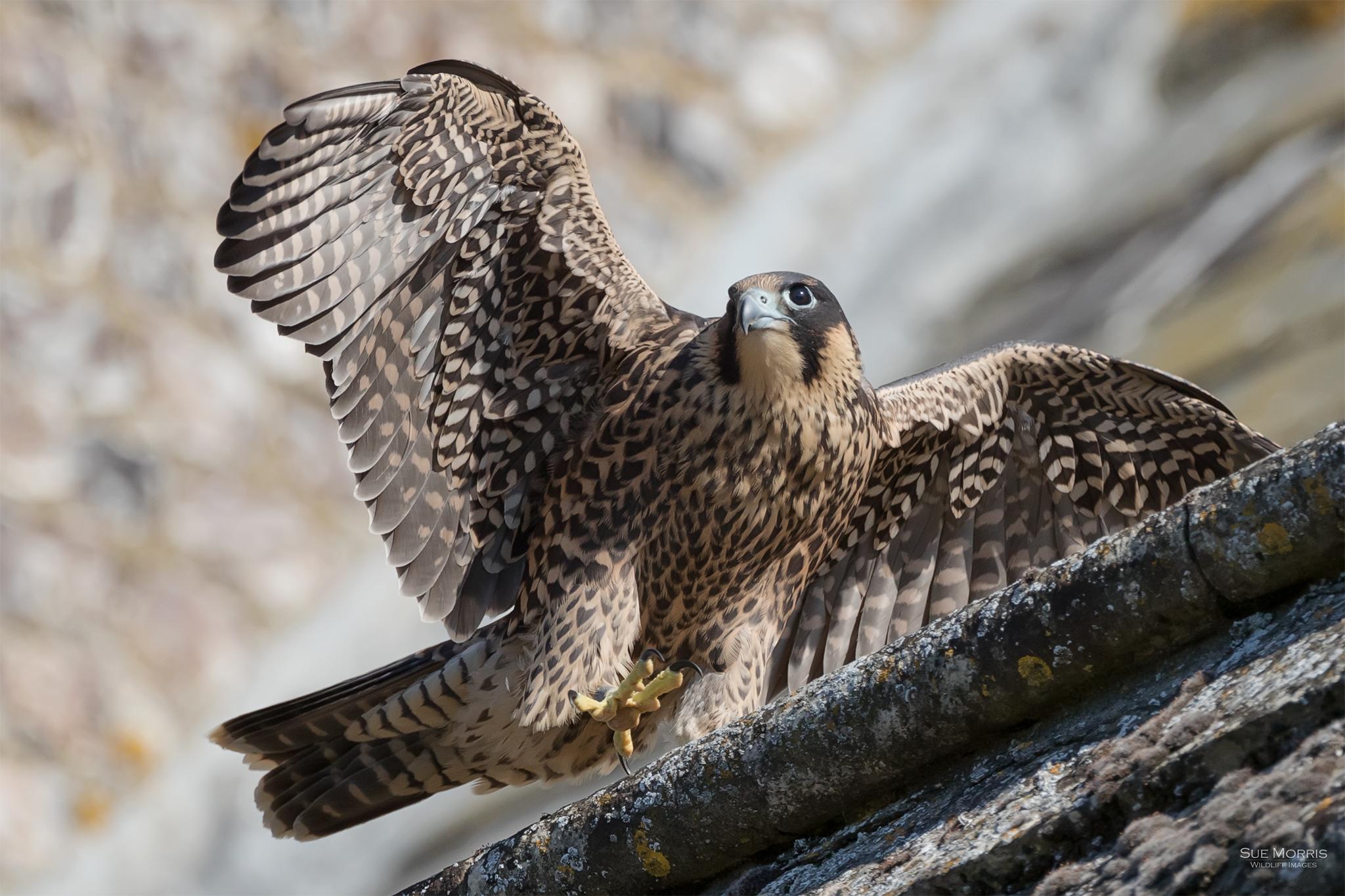 Peregrine Falcon, St Mary's Church Andover