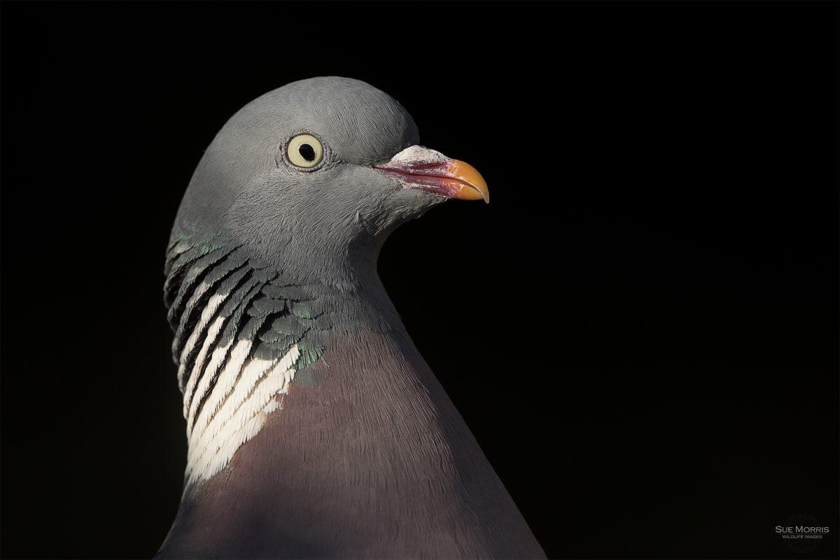 Wood Pigeon Portrait during Lockdown